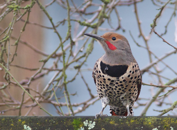 male Red-Shafted Flicker