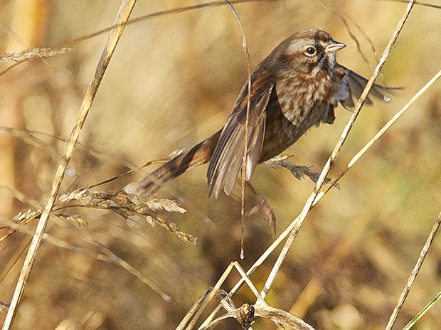 Song Sparrow flitting