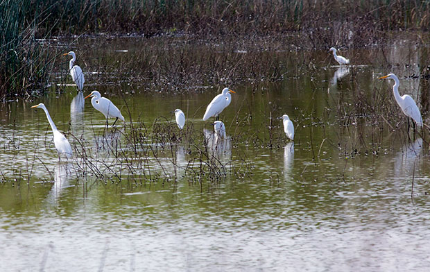 Great Egrets with Snowy Egrets