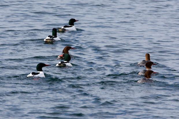 Flock of Common Mergansers