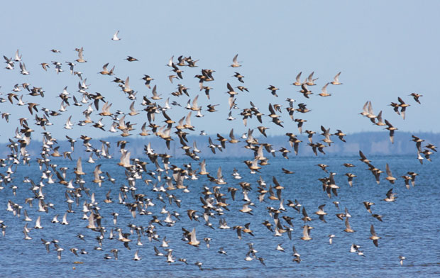 Shore Birds in Flight