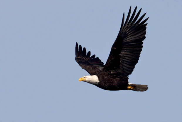 Eagle Flying By