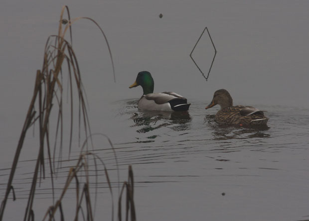 Pair of Mallards in Fog