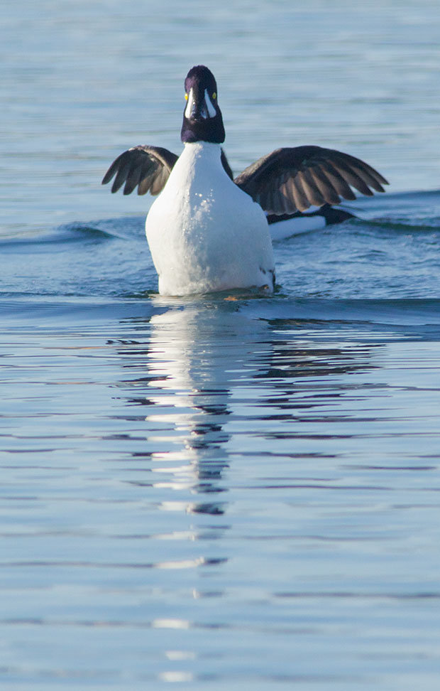frontal shot of Barrow's Goldeneye
