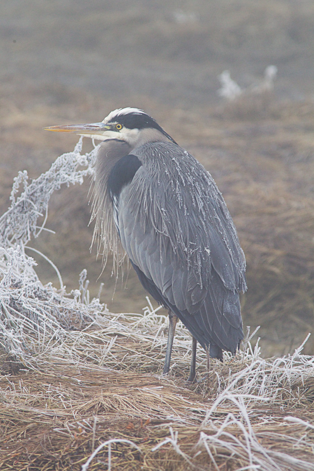 Great Blue Heron with Frosted Feathers