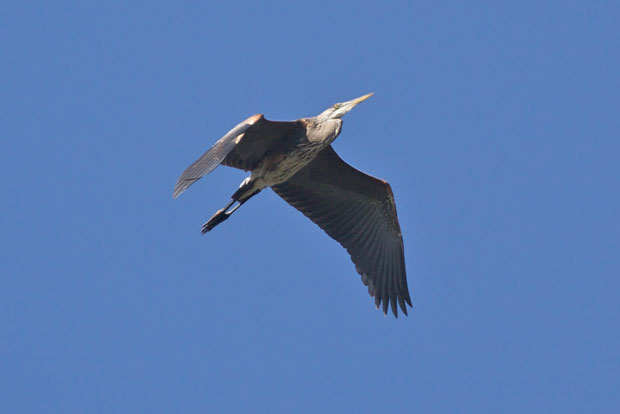 Great Blue Heron Flies Overhead