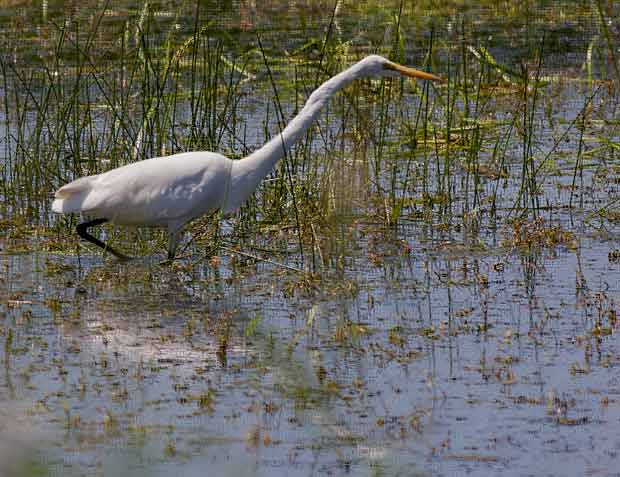 Great Egret (or Snowy Egret)