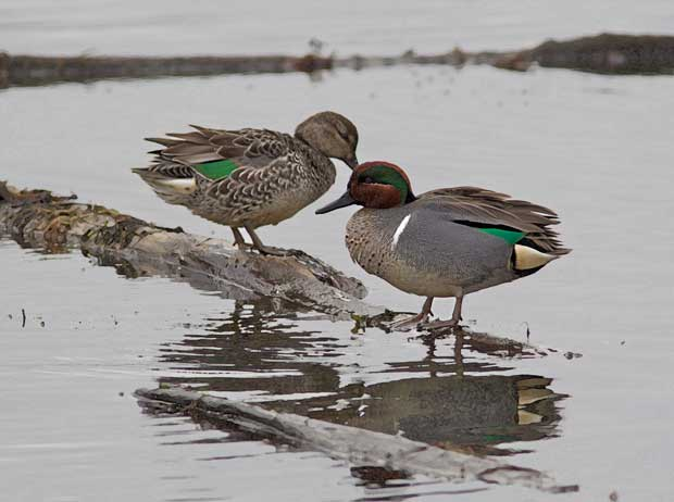 pair of Green-Winged Teal