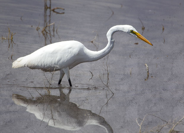 Great Egret Poised