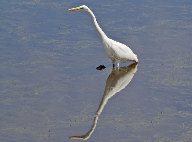 Great Egret with Outstretched Neck