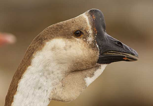 Goose with Unusual Beak