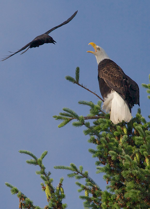 crow harassing Bald Eagle