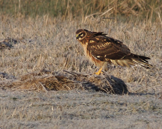Norhtern Harrier on Ground