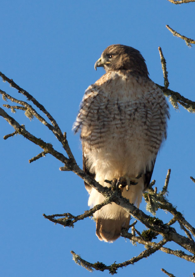 Red-Tailed Hawk In Tree