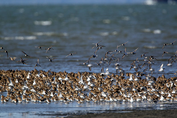 Spring Shorebird migration