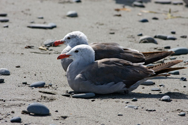 Heerman's Gull