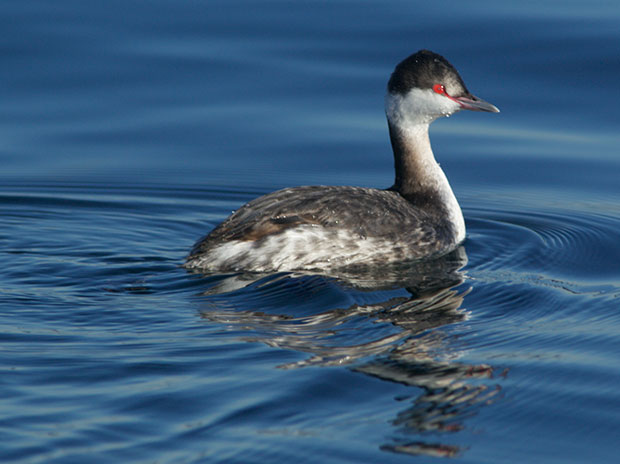 Horned Grebe, winter plumage