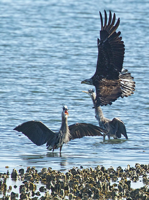 Great Blue Herons stand their ground