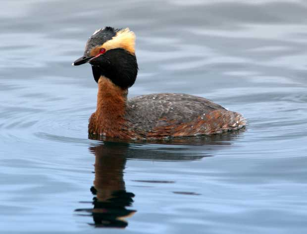 Horned Grebe in breeding colors