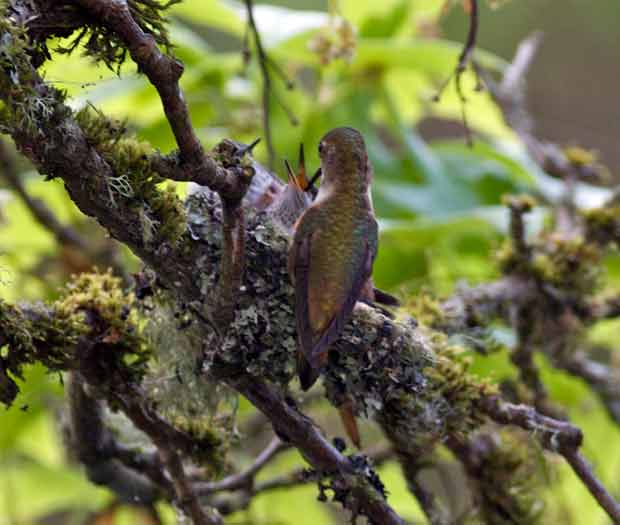 Hummingbird feeding chicks