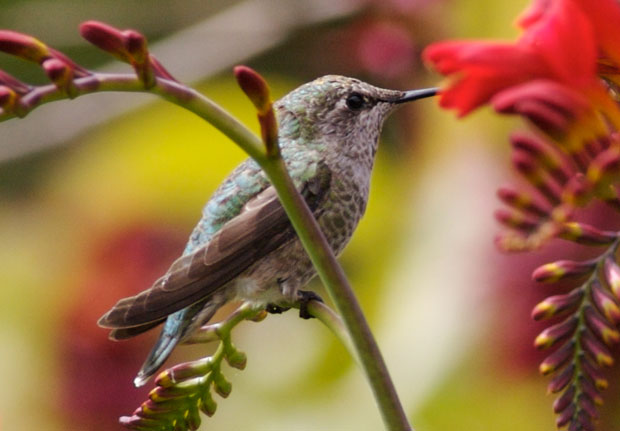 Sitting Hummingbird