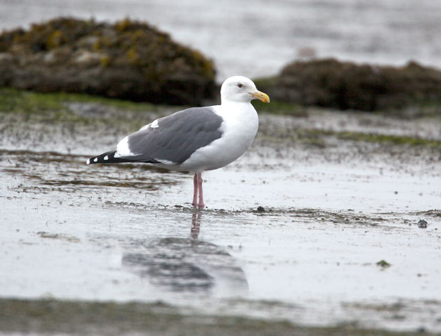 Possible Western Gull