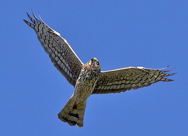 Marsh Hawk Overhead