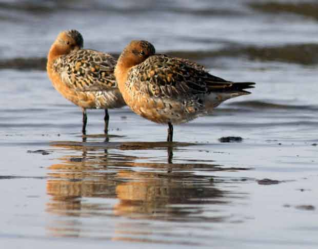 Two Red Knots