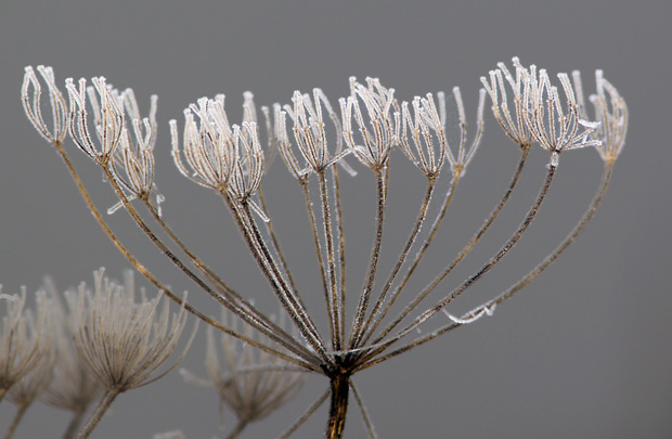 Frosted weeds