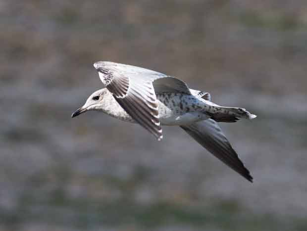 Immature Thayer's Gull