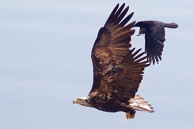 Crow chasing Bald Eagle
