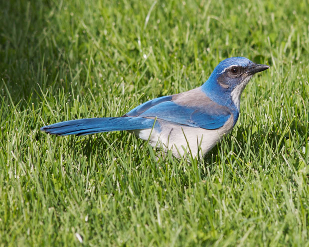Scrub Jay on Lawn