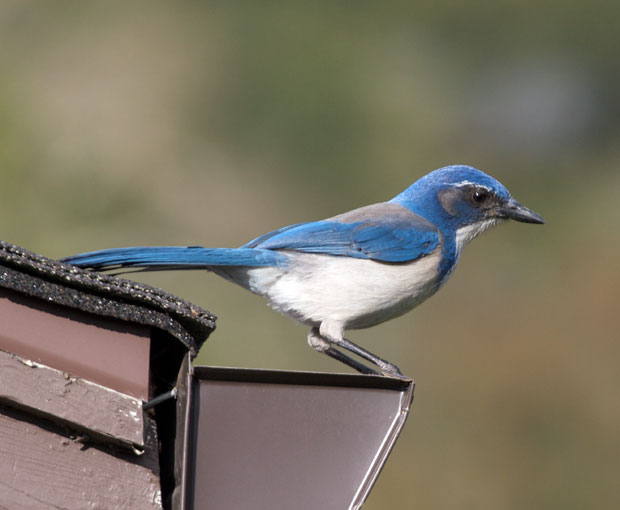 Western Scrub Jay on Roof