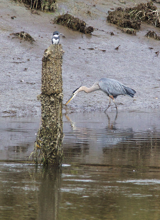Kingfisher and Great Blue Heron