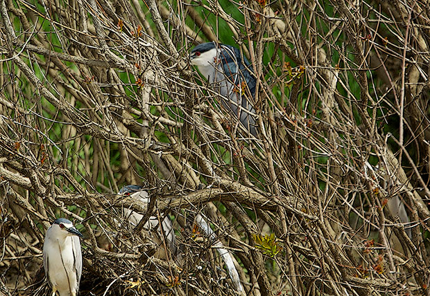 Nigh Herons in the Trees