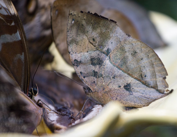 Leaf-like Butterfly