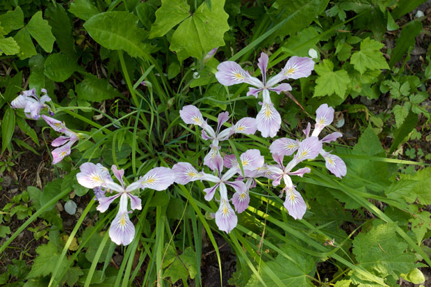 a bunch of Tough-Leaved Iris