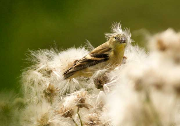 Goldfinch in Thistles