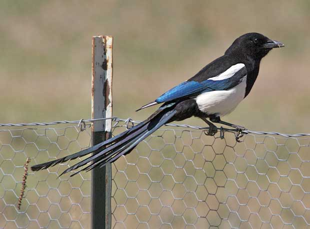 Magpie on Fence