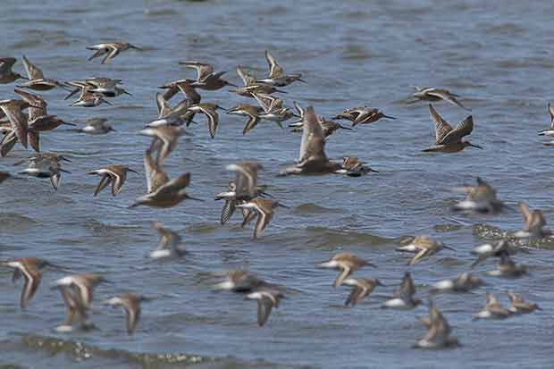shorebird migration