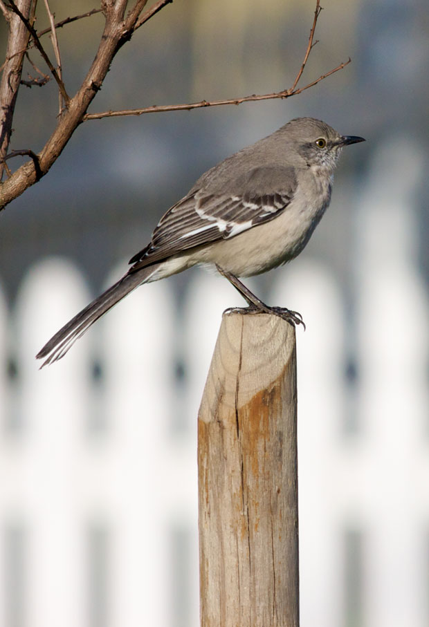 Mockingbird on Post