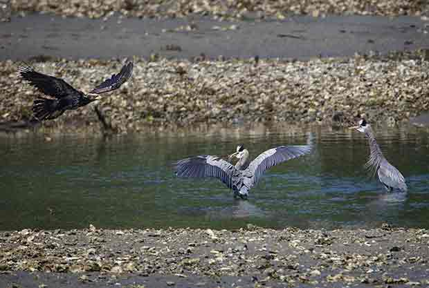 Bald Eagle and Great Blue Herons