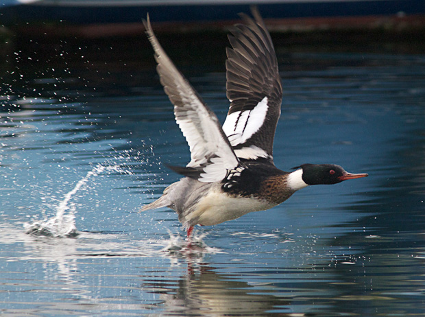 merganser taking off