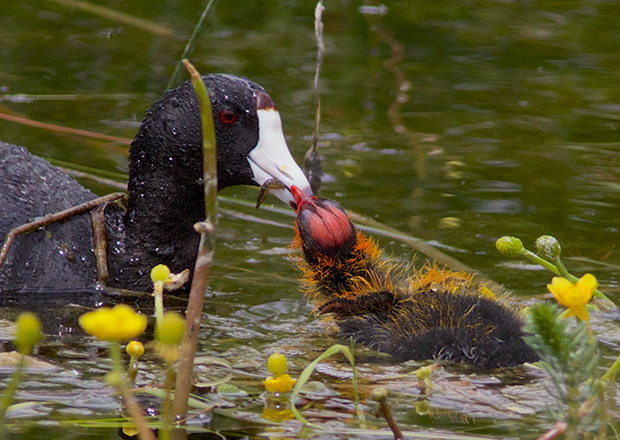 Coot with Chick