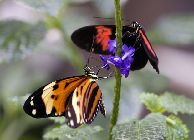 Pair of Butterflies on Purple Flowers