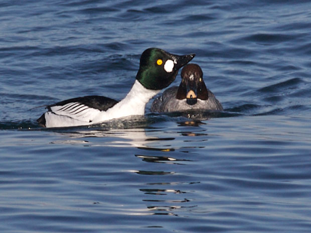 Goldeneye Male Necking