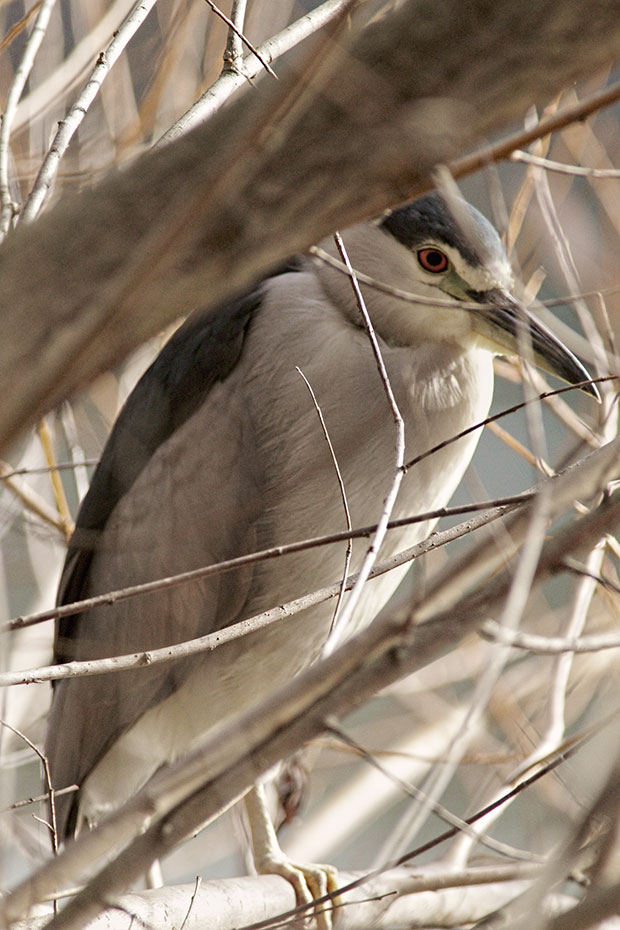 Night Heron  in tree