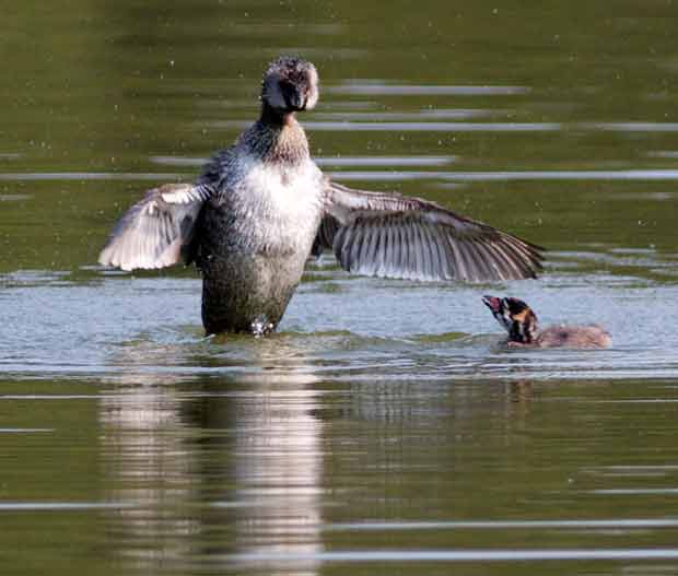 Pied-Billed Grebe Flapping Wings