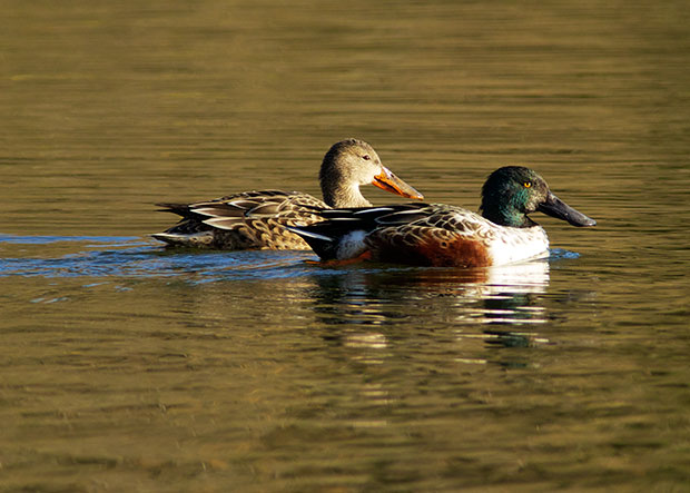 pair of Norhern Shovelers