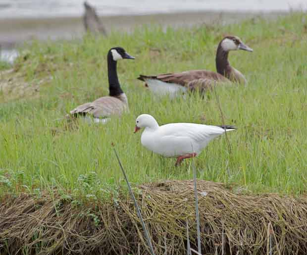 Snow Goose with Friends